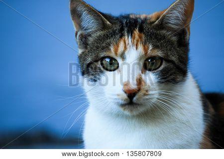 Domestic cat portrait close up image. no people