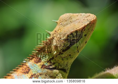 Black Face Lizard, Tree Lizard On Tree
