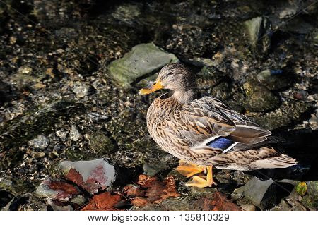 wild duck drake standing in water with autumn leaves