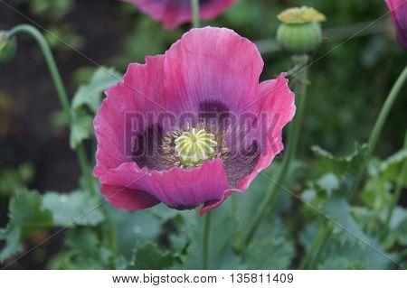 Pink poppy flower in the summer garden