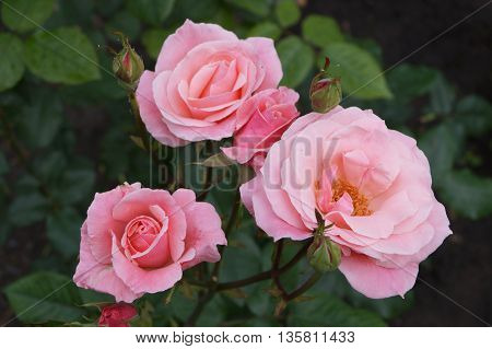 Pink Rose flowers and green leaves in the garden