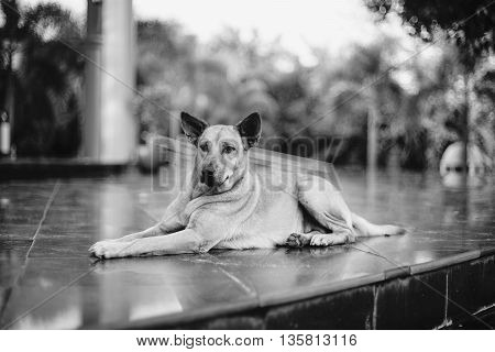 dog lying on the floor with blur background in black and white style