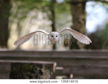 Close up of a Barn Owl in flight