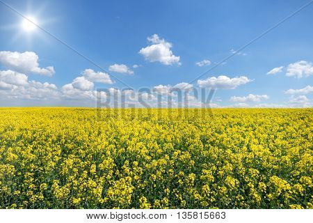 Large, yellow blooming rapeseed field with sun and blue and white sky