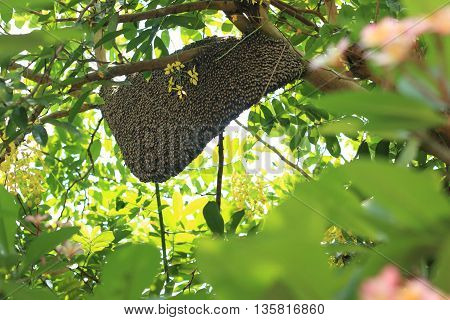 Beehive on a flower tree branch in Thailand