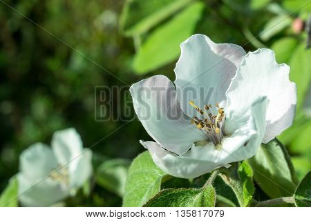 The Quince Blossom