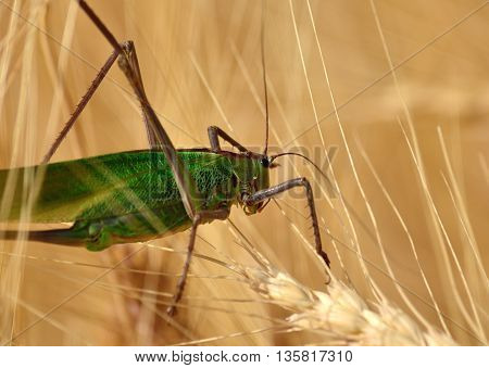 Large green grasshopper among the wheat spikes