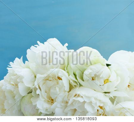 White peony flowers close up on blue background