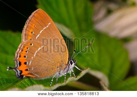 Hairstreak (Satyrium pruni) butterfly on a green leaf.