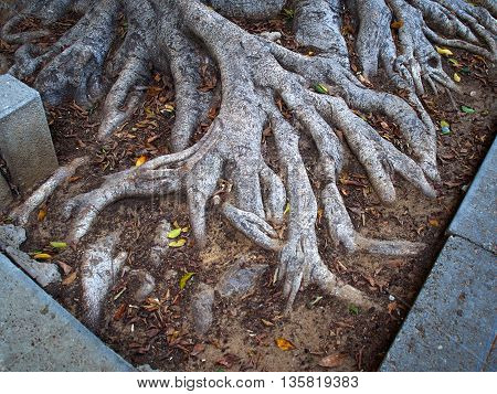 Deep spread roots of a Ficus Larata Fiddle Leaf Fig Banyan tree