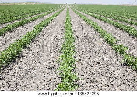 Furrows of young tomatoes plants growing at Vegas Altas del Guadiana Spain