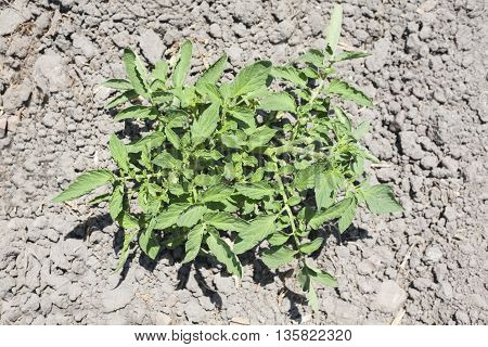 Young tomato plant growing at Vegas Altas del Guadiana Spain. High view angle