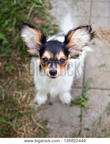 Cute puppy of the Continental Toy spaniel - Papillon