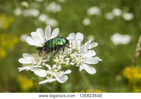 Lamprima aurata golden stag adult female beetle on blossomed white flower