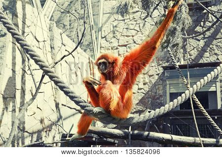 Sad ape sitting on rope in cage toned image