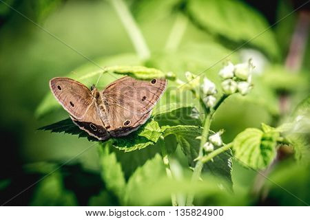 Little Wood Satyr Butterfly (Megisto cymbal) sitting on green plant