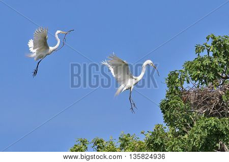 Two great egrets (Ardea alba) flying and making a nest