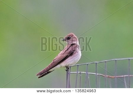 Northern Rough-Winged Swallow (Stelgidopteryx serripennis) bird sitting on wire fence