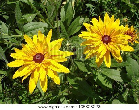 Two cutleaf coneflower (rudbeckia) yellow flower .
