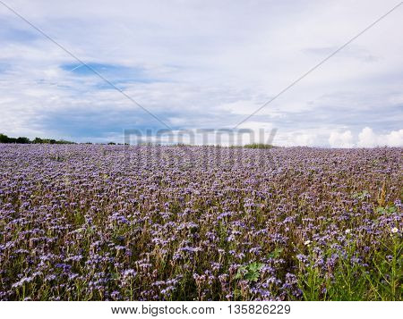 Field with Phacelia tanacetifolia flowers in summer afternoon
