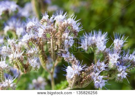 Close-up of phacelia flowers and honeybee collects nectar