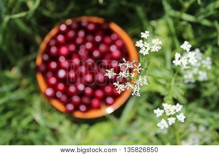 Sweet cherries in a clay bowl in green grass