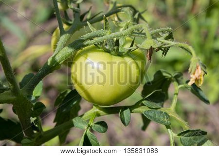 bush green tomatoes growing on the branch