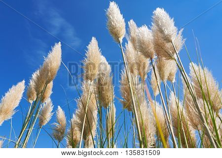 Plumes of pampas grass against a blue sky