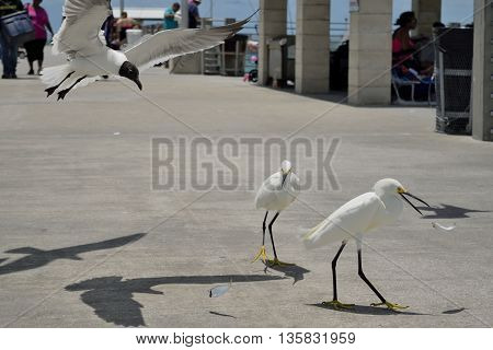 Snowy Egrets eating fish on pier with a laughing gull swooping in for a snack.