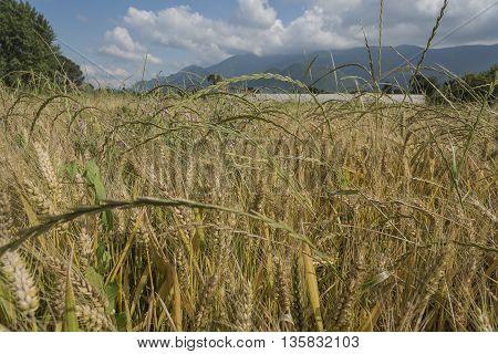 field of ripe wheat golden ripe ears in the blue sky. Italian food. Made in Italy.