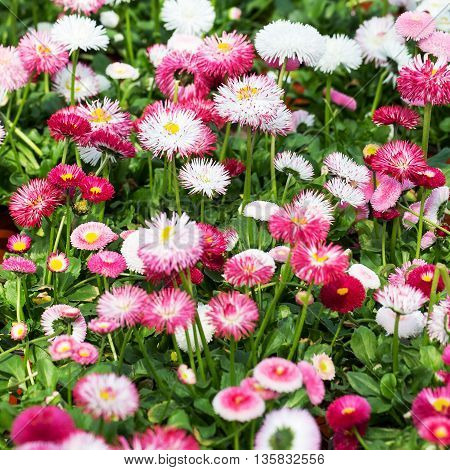 Repeated White, Pink And Red Flowers Of Daisies, Selective Focus. Beautiful Flower Background