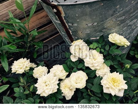 Blooming white roses in the retro style summer garden.