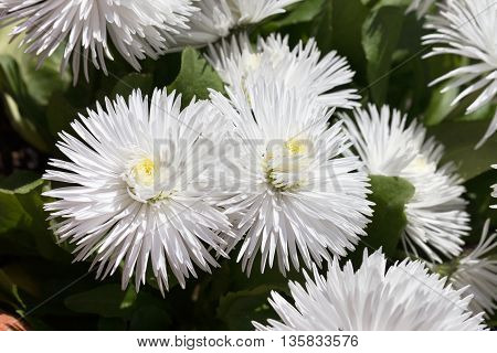 Beautiful White Flowers Background Blur Selective Focus