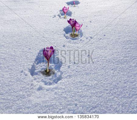 violet crocuses in the snow. Winter landscape