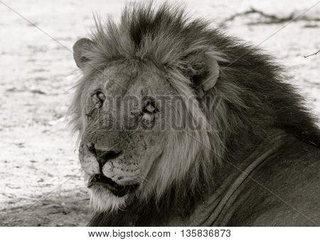 full head of a male lion in monochrome