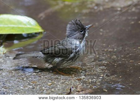 Burmese Yuhina Yuhina humilis Birds of Thailand
