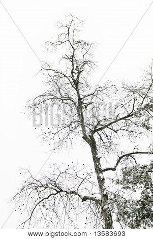 Hickory Nut Tree In Snow
