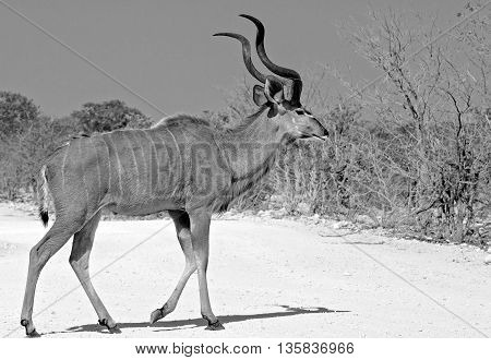 Lone male Kudu Bull walking across the dry etosha road in black & white