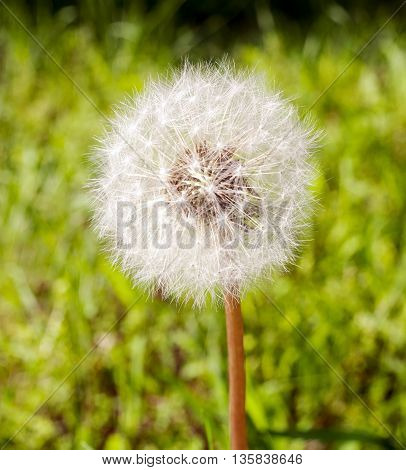 Medicinal herb dandelion closeup on a green meadow on a sunny day