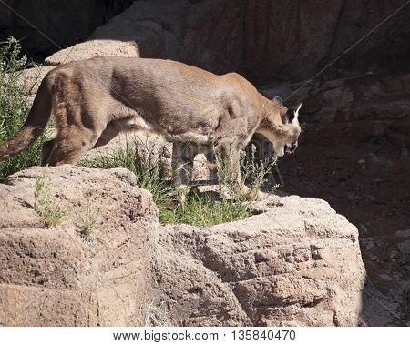 Mountain lion aka