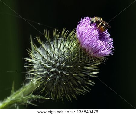 A Bumblebee lies in wait for anyone wishing to sniff the flower.