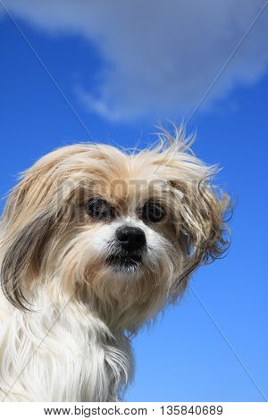 Cute Lhasa Apso Dog Isolated Against a Blue Sky