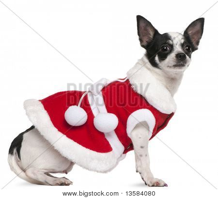 Chihuahua, 2 years old, dressed in Santa outfit, sitting in front of white background