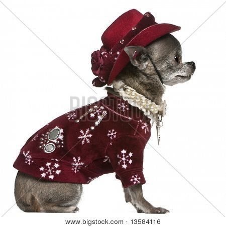 Chihuahua in winter outfit, 7 years old, sitting in front of white background