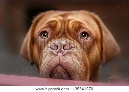 dogue de bordeaux portrait close up details of face