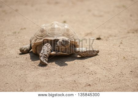 Wrinkled skin African Spurred Tortoise moving across the dirt.