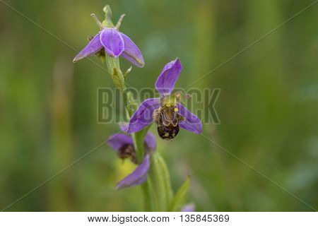 Bee Orchid (Ophrys apifera) flowering in a Dune Valley
