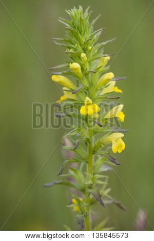 Yellow Bartsia (Parentucellia viscosa) flowering in a Dune valley