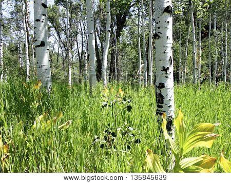 Aspen trees in a meadow near Steamboat Springs