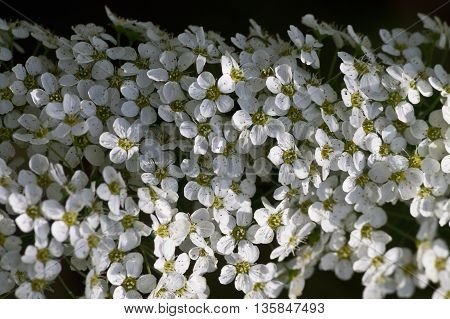 branch of white spirea flowers close up